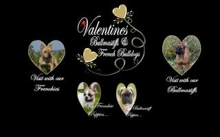 Valentine's Bull Mastiffs and French Bulldogs
