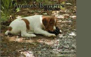 Ammo's Brittanys